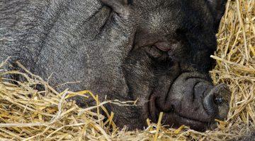 Dein innerer Schweinehund: Freund oder Feind?